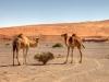 Zwei Kamele in der Wüste des Oman vor einer Sand-Düne
