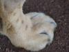 Löwen Tatze 2-min