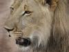 Löwe Phezulu Lion encounter-min