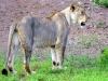 Lion Encounter Zimbabwe Löwin Pendo-min