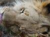 Lion encounter Phezulu Zimbabwe 2-min