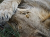 Lion encounter Phezulu Zimbabwe 3-min