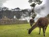 Lamas weiden in Machu Picchu