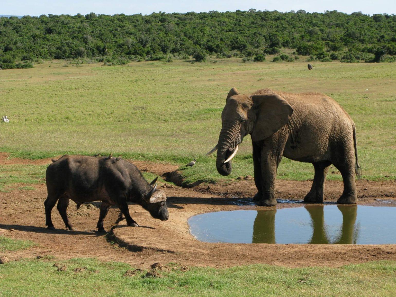Elefant und Büffel im Addo Nationalpark