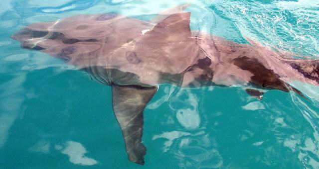 Der Weiße Hai vor Gansbaai in südafrika
