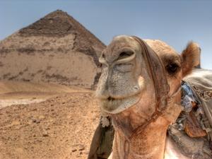 Kamel eines Polizisten vor der Roten Pyramide in Dashur, Ägypten. Foto: www.nikkiundmichi.de