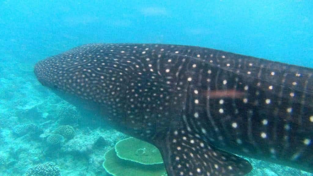 Walhai Malediven: Tauchen mit dem größten Fisch der Welt.