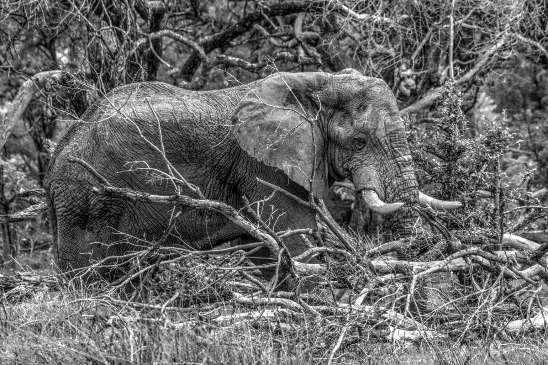 Afrikanischer Elefant.