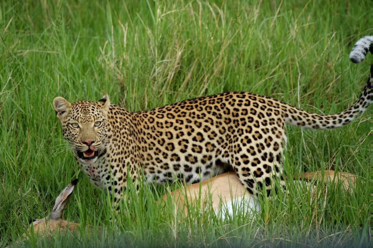 Leopard mit frischer erlegter Beute - einer Impala Antilope