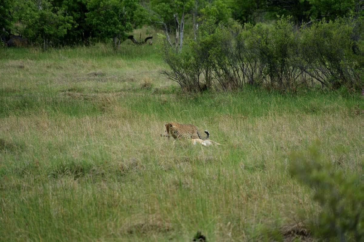 Plötzlich entdecken wir sie - die Leopardin im halbhohen Gras.