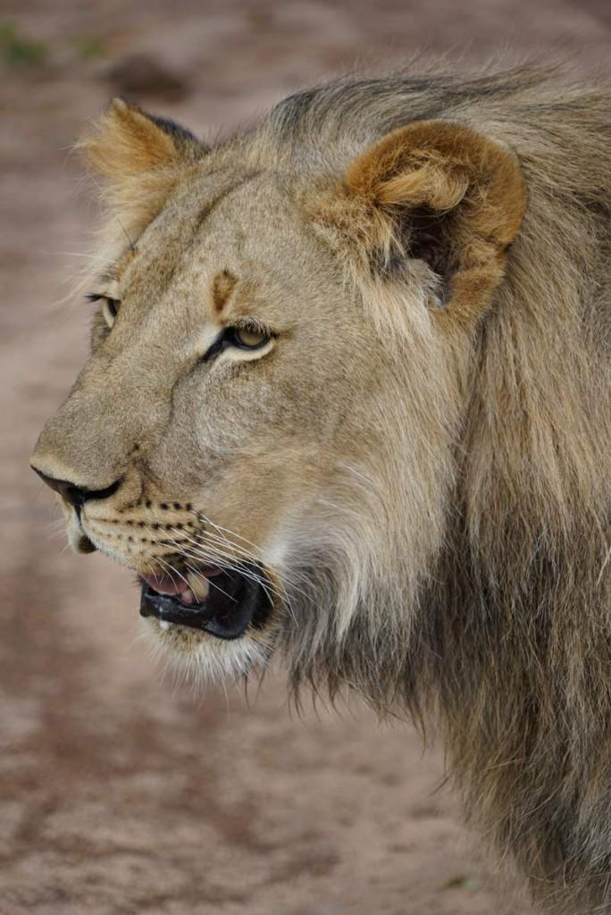Löwe Phezulu Lion encounter