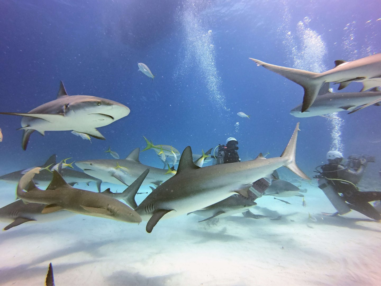 Haifütterung auf den Bahamas mit Stuart Coves