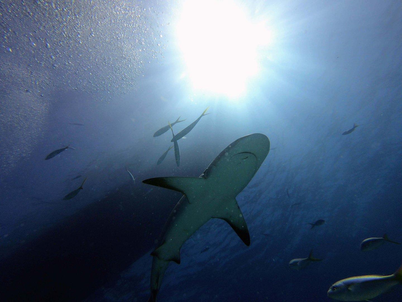 Tauchgang mit Haien Bahamas