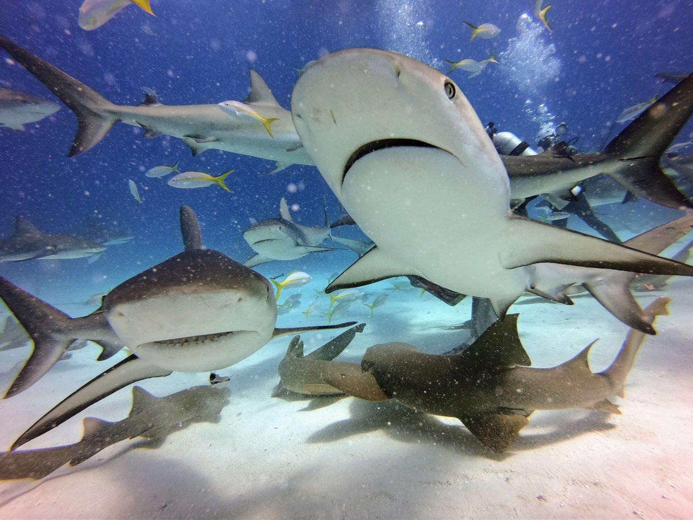 Tauchen mit Haien auf den Bahamas