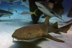 Ammenhai bei Haifütterung