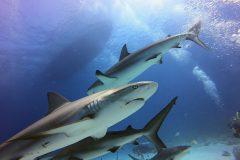 Karabische Riffhaie Bahamas Fütterung